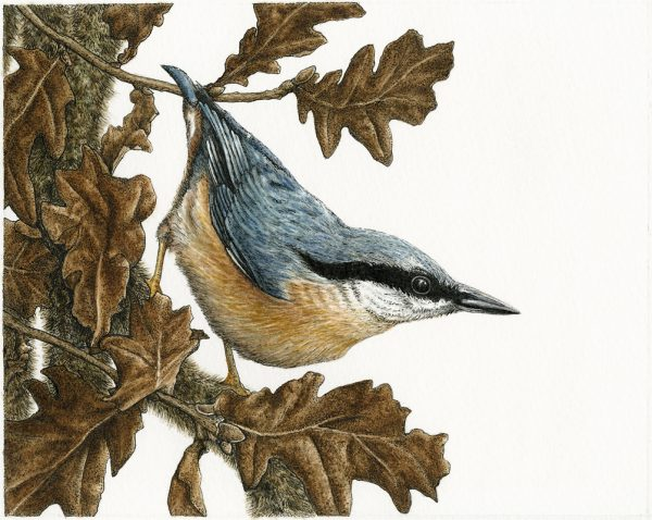 Nuthatch by Natalie Toms